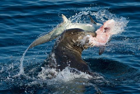 美海狮捕食长尾鲨 怒甩空中凶残断头