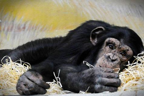"""捷克动物园黑猩猩""""葛优瘫""""样子呆萌"""