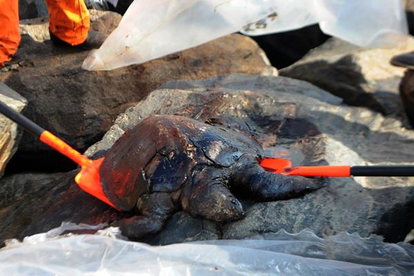 撞船漏油20吨 印度金奈海域近1/6海龟死亡