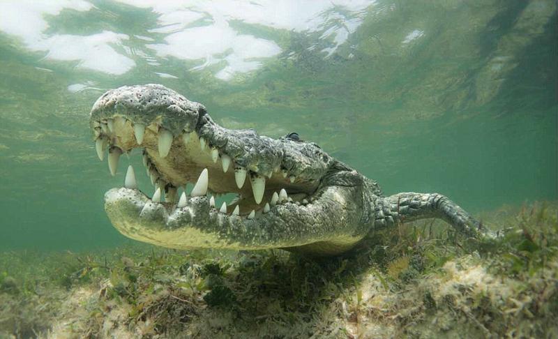 照片中的鳄鱼大张着嘴巴,露出一口锋利的白牙,奇特的是,在水下拍摄到