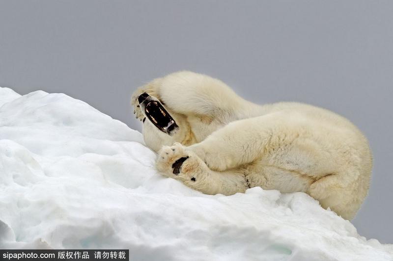 """冰雪里满地""""打滚""""的憨萌动物治愈人心"""