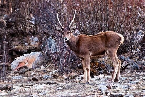 资料图 犯罪嫌疑人作案手法粗暴,将白唇鹿杀死后,砍下鹿头,将鹿角取走,用于贩卖。昨日,成都商报记者从甘孜警方证实,日前在甘孜州德格县携步枪猎杀白唇鹿的犯罪嫌疑人已被抓获并刑拘,与涉案物件一起移交森林公安侦办。 2月2日19时许,四川省甘孜藏族自治州德格县公安局达马派出所接到阿木拉村村民报警称:泽达沟内有人乱砍滥伐且存在非法盗猎行为。派出所民警历经7小时艰难前行到达阿木拉村泽达沟,在当地群众的协助下,成功抓获一名涉嫌非法盗猎嫌疑人,并起获小口径步枪和半自动步枪各1支,子弹24发,摩托车1辆,挡获被猎杀的国