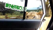 狮子成精了!竟然会开车门!