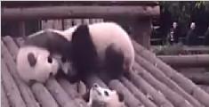 小熊猫围观伙伴打架 结果无辜卡头成功抢镜