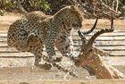 南非花豹突袭黑斑羚