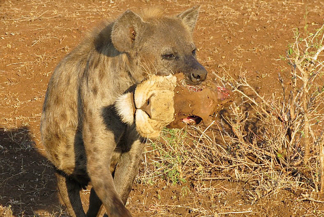 狮落平阳被犬欺!南非鬣狗口叼狮头炫耀