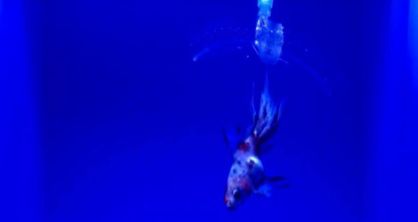 水凝胶机器人在水下时几乎隐形 能快速抓住金鱼
