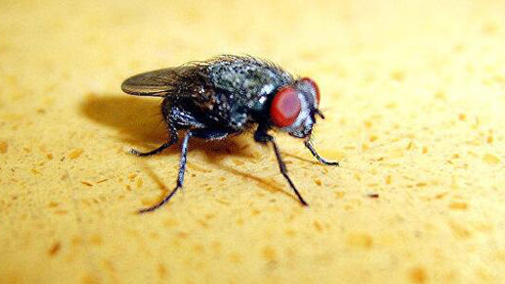 外媒杂志:中国苍蝇是超级细菌携带者!