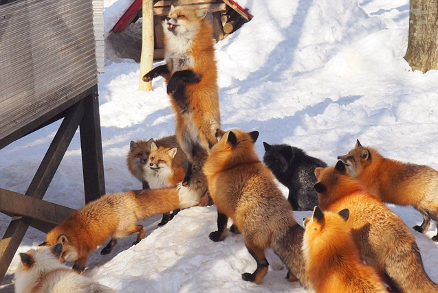 日本狐狸村百余只野狐玩耍打滚不惧人