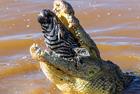 非洲巨鳄疑似整吞斑马