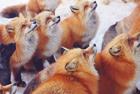 日狐狸村百余野狐不惧人