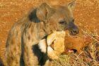 南非鬣狗口叼狮头炫耀