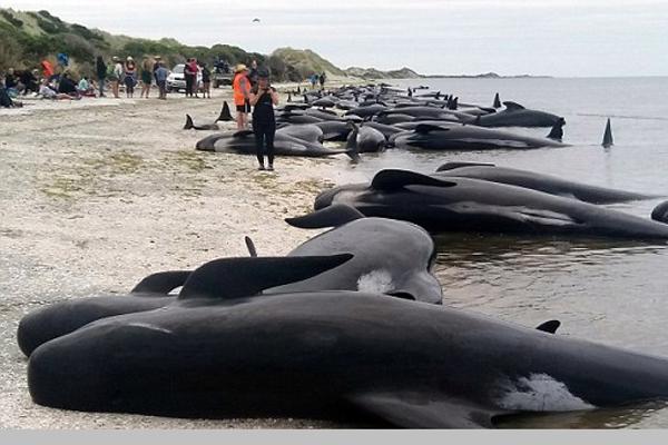 新西兰416头鲸鱼搁浅海滩 仅存活100余头
