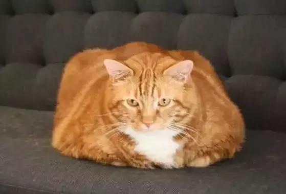 话说,这些胖成气球的老虎,让人想起了橘猫界流传着的一个诅咒,那就
