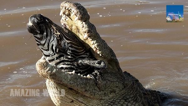 鳄鱼捕食斑马血腥一幕:一口吞下整颗头