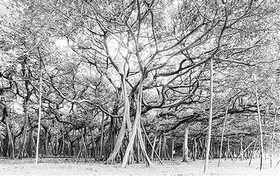 """印度一榕树""""独木成林""""枝条生根扎入土"""