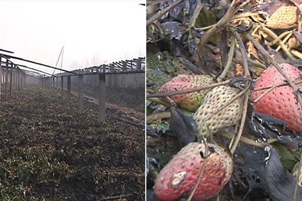 孔明灯引燃草莓大棚 种植户损失40多万