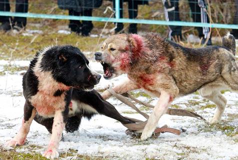 吉尔吉斯斯坦斗犬场面血腥引关注
