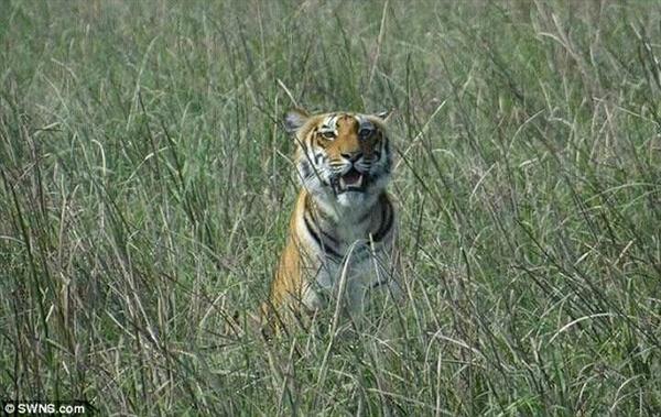 老虎咬死6人 印度村民开拖拉机、骑大象将其围捕