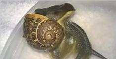 兽医成功为外壳破碎蜗牛做修补手术