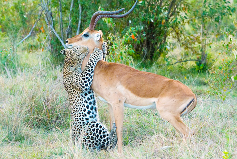 """肯尼亚花豹抱摔羚羊献上""""死亡之吻"""""""