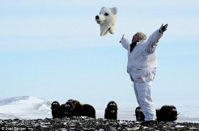 研究人员扮成北极熊 探究麝牛生存状况