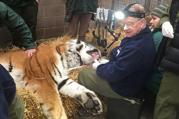 虎口拔牙!英国牙医给东北虎做牙科手术引围观