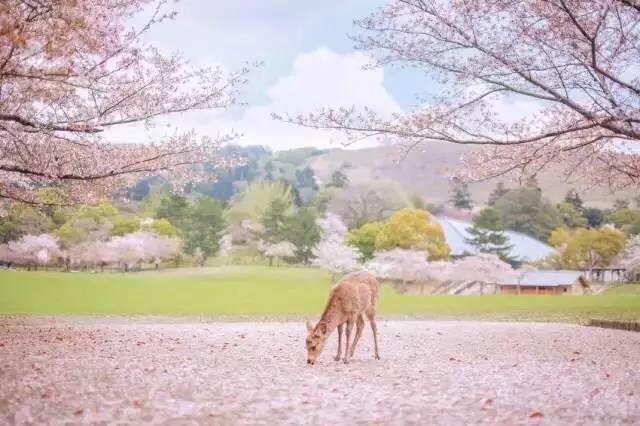 【三月三十,十里樱花】乘坐邮轮去日本看樱花,体验全免费的吃喝玩乐!