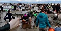 新西兰提醒游客远离搁浅鲸鱼尸体