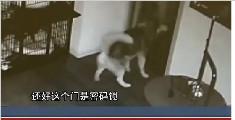 """江苏:哈士奇寄养宠物店深夜""""越狱"""""""