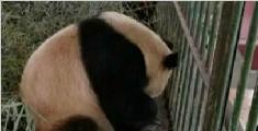 兰州动物园回应大熊猫口吐白沫:属正常现象