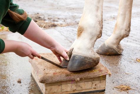 英长颈鹿享顶级待遇 懂得伸脚修指甲