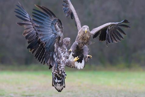 波兰两老鹰为争食空中决斗 乌鸦看热闹