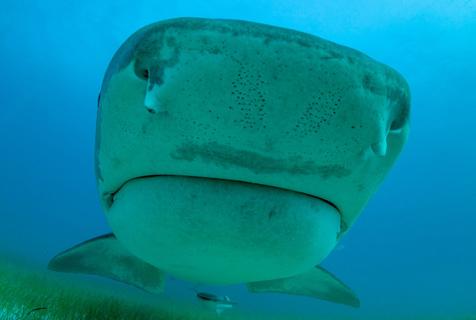 英摄影师海底拍凶猛虎鲨 与其亲密互动