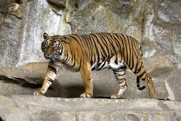 胆真肥!贵州动物园饲养员直播虐虎:拽尾巴狂笑