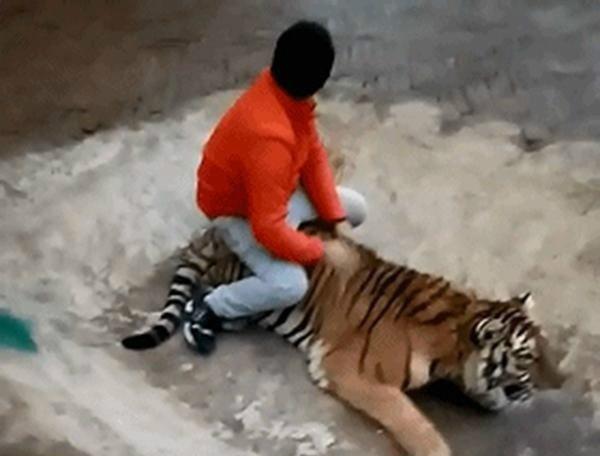 [动物园回应#贵阳野生动物园虐虎# 事件:为饲养员与幼虎嬉戏场景] 贵州森林野生动物园今日发声明称,视频中2岁的老虎出生至今一直由视频中饲养员喂养。饲养员与幼虎亲密无间,幼虎体格强健、 动作灵活,与饲养员在一起非常亲密温顺。视频画面为饲养员与幼虎嬉戏场景。