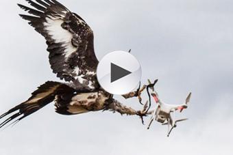 法国空军训练老鹰抓捕无人机