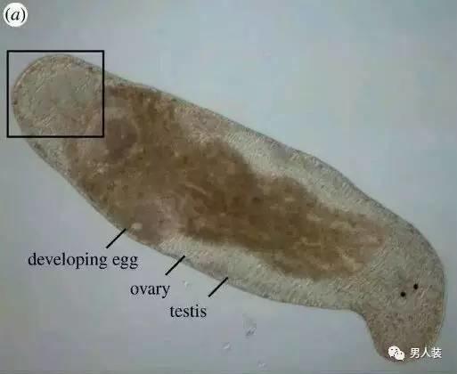 神奇的大自然孕育了一些雌雄同体的神奇生物,如藤壶、贻贝等等。而大口涡虫(Macrostomum hystrix)是其中自攻自受、精虫上脑的注孤生典范。   这种长得像一坨米田共的家伙是一种小型水生涡虫,会自行69,过程孤独而绝望,还充满了疼痛和创伤:它同时具备雄性和雌性的繁殖系统,繁殖后代时,用针一样的生殖器插入自己的头部,注射自己尾端的精子,游走到身体中部,让自己的卵子受精。
