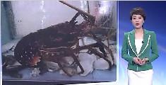 厨师活卸龙虾被控虐待动物 顾客:不接受此杀法