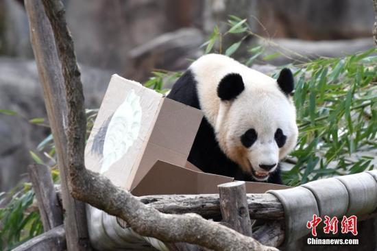 """旅美大熊猫""""宝宝""""即将回国 美民众不舍送祝福"""