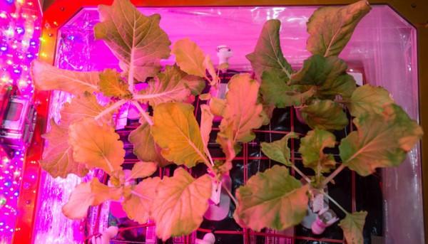 NASA:国际空间站收获了太空白菜