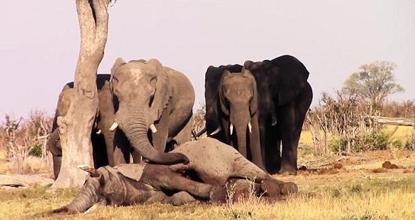 """非洲象群不愿抛弃同伴尸体深情""""亲吻""""表哀悼"""