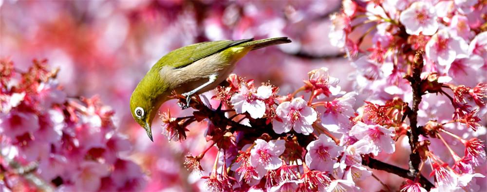 樱花与飞鸟起舞 如云似霞