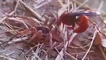 大黄蜂激战狼蛛获胜 独享蜘蛛大餐