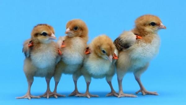基因工程母鸡孵出不同父母羽毛的小鸡