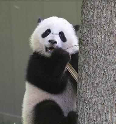 """今天,熊猫""""宝宝""""要回国了,美国人民实在是舍不得啊"""