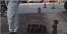 大叔路边遛7只泰迪 狗狗步调惊人一致