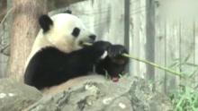 """熊猫""""宝宝""""即将回国 美国民众依依不舍"""