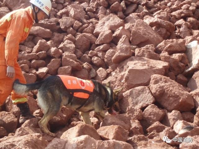 图为金雕参加云南昭通4.26山体滑坡事故救援-当TA老了 搜救犬金雕的 图片