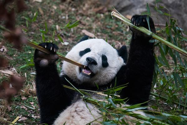 一个干干净净的特制白色大箱子,金属材质,四壁均匀地钻满圆圆的通气孔,供宝宝在飞机上临时栖身。 从宝宝出生就照顾它的饲养员马蒂·迪里和动物园兽医凯瑟琳·霍普,将一路和宝宝做伴,并帮助它适应太平洋彼岸的新家。一位动物园工作人员告诉新华社记者,大熊猫很怕陌生人的味道,有熟悉的气息,会安心很多。 宝宝是在华盛顿美国国家动物园出生的第一只雌性大熊猫。2013年8月出生时,动物园全程网络直播,使它从来到这个世界之初就成为美国小网红。刚出生时,它体重只有43盎司(约合1.